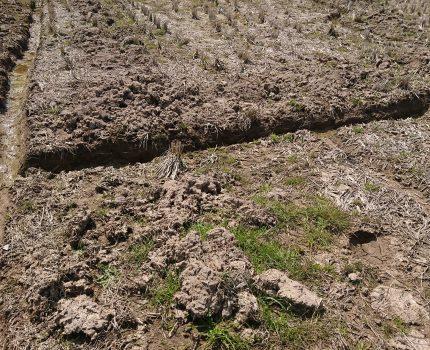 無農薬と慣行農法の田を画像で比較する