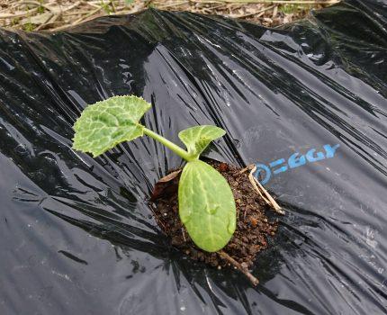 ほぼ無肥料、無加温、無農薬の野菜や稲の苗の様子