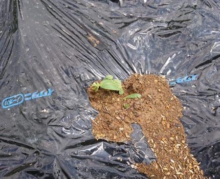 強風、霰で倉庫が傾き畑半壊、枝豆「秘伝」発芽