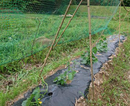 キュウリの誘引と水田除草
