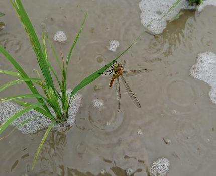 足水田除草とトンボの巣立ち