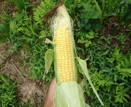 無農薬、無肥料、無防除のトウモロコシ初収穫