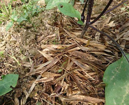 竹を使ったナスの無農薬、無肥料、物理性、生物性向上